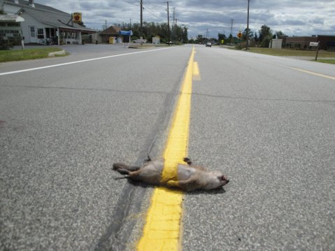 5275350ad2d17f4803fd13021c5b2549-squirrel-run-over-by-line-painter