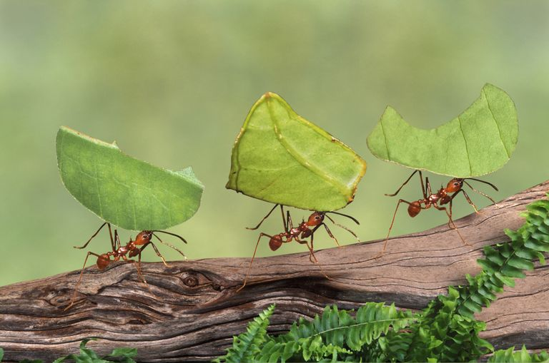 Leafcutter ants gathering food